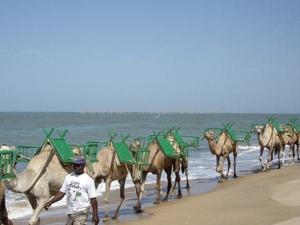 Tanji Camel Safari